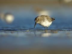 Bécasseau variable. (MaqPhi) Tags: bécasseau camargue france mer plage see beach oiseau bird canon 600mm