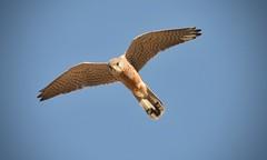 "Kestrel 2 (Ratsiola) Tags: blue flight nature wildlife naturalworld environment hover falcotinnunculus kestrels hunting eyes feathers richmondpark ""tail feathers"""