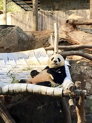 Well hello there! (CSBaltimore) Tags: zoo cub panda bear bei