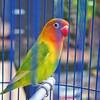 My Love Bird (r_fathur@ymail.com) Tags: closeup photography nature alam binatang burung cute animal lovebird bird