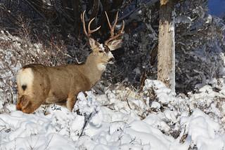 Mule Deer Buck in the Snow - 7407b