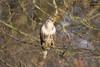 Buzzard (AndyNeal) Tags: animal wildlife nature bird birdofprey buzzard essex smythes green