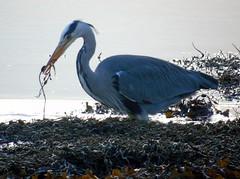 Heron (stuartcroy) Tags: orkney island heron beautiful bay bird scotland sea sony