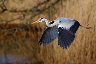 Grey Heron in flight 35408