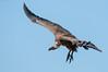 Vulture Soaring (MWVVerb) Tags: 2015 kenya mara masai migration triangle wildeye