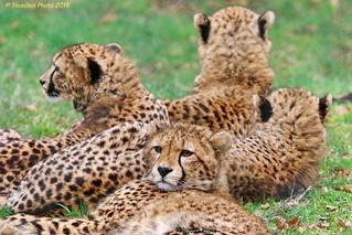 Cheetahs - Geparden