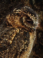 Blending In (Steve Taylor (Photography)) Tags: owl brown uk gb england greatbritain unitedkingdom london bird hallplace portrait