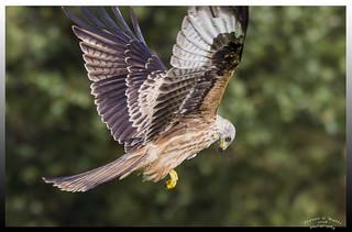 Close up Kite in Explore 11th Feb 2018