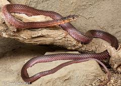 San Joaquin Coachwhip (Masticophis flagellum ruddocki) (David A Jahn) Tags: san joaquin coachwhip masticophis coluber flagellum ruddocki snake california