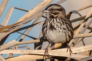 Familiar Sparrow