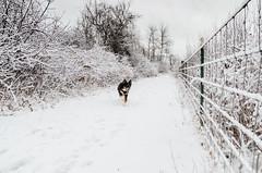 Winter fun run! (NetAgra) Tags: jilly winter yahara danecounty brush canine weather snow trees australianshepherd dogpark aussie run stoughton wisconsin dog yaharapark yaharariver fence cold happy ice