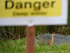 Où est le danger? (Robert-Ang) Tags: bird bittern animal wildlife sign yellowbittern danger