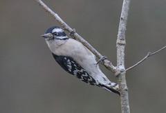 Roberta hanging on a liimb (Yer Photo Xpression) Tags: ronmayhew canoneos70d downywoodpecker bird tree limb