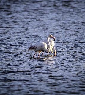 Flamingo - flamenco