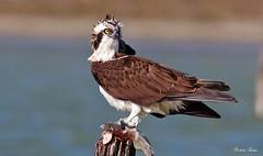 Osprey - Falco Pescatore (Pandion haliaetus) (Michele Fadda) Tags: canoneos70d sigma150600mmf563dgoshsmsport sardinia sardegna italy falco osprey falcopescatore pandionhaliaetus free avifauna faunaprotetta nature natura photoscape