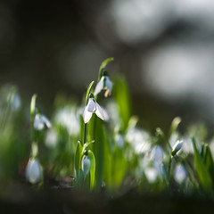 More Snowdrops (paulapics2) Tags: snowdrops bulbs spring outdoor closeup bokeh depthoffield selectivefocus canon5dmarkiii canonef70300mmf456lisusm flower flora nature plant garden 7dwf