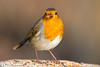 Robin (kevinclarke1969) Tags: rufford nottinghamshire