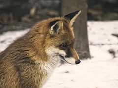 2018:02:14 13:19:55 - Fuchs - Animal Winter Bokeh (torstenbehrens) Tags: fuchs animal winter bokeh schleswigholstein deutschland 20180214 131955