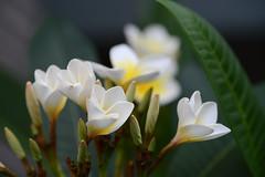 Frangipani (PhotosbyDi) Tags: frangipani flower garden nature nikond600 tamronf2890mmmacrolens