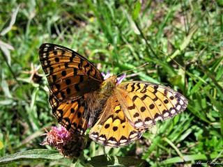 Butterfly 1554