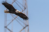 Soaring (114berg) Tags: 06jan18 mature bald eagle flight leclaire iowa ld14 mississippi river
