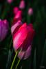 Flowers-Tulips-32.jpg (Chris Finch Photography) Tags: tulipasaxatilis spring tulip pinktulip flower tepals tulipalinifolia springblooming chrisfinchphotography perennial redtulip petal herbaceousbulbiferous petals tulipa pinktulips flowers tulipaturkestanica perennials herbaceous bloom bulb tulipagesneriana bulbs tulipaarmena lilioideae chrisfinch herbaceousbulbiferousgeophytes macrophotography tulipaclusiana blooming tulipahumilis redtulips wwwchrisfinchphotographycom tulips