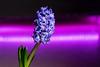 Hyacinthus (lublud) Tags: flower fleur jacinthe hyacinthe hyacinth hyacinthus purple light dark colors green plant plante