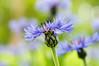 Cornflowers (master Doratan) Tags: blue cornflower flower june summer green garden macro