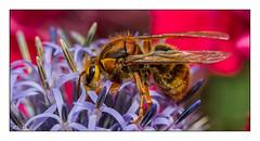 In Arbeit (roland_lehnhardt) Tags: canon eos60d ef100mmf28usm makro makroaufnahme closeuo nahaufnahme grosaufnahme tiere insekt biene dof pov tiefenschärfe portait tierportrait tierfotografie animals nature bokeh bee