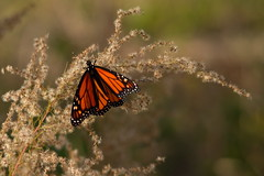 Monarch butterfly (sr667) Tags: florida usa us danausplexippus animalia euarthropoda insecta lepidoptera nymphalidae danaus dplexippus monarch monarchbutterfly
