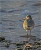 Godwit (Charles Connor) Tags: godwit wadingbirds waterbirds birdphotography martinmere morninglight light eyes beaks water naturephotography wildlife wildlifephotography canon100400lens canon7dmk11