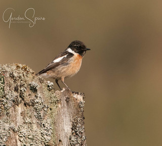 Stonechat Perched