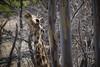 IMG_6947a_1 (Ben Aird) Tags: cape town africa nature wine zebra giraffe springbok bontebok eland grapes duck bokaap seal vineyard vine shiraz remhoogte vergenoed lizard architechture