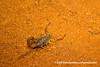 Scorpion (Grosphus flavopiceus) DSC_7252 (fotosynthesys) Tags: grosphusflavopiceus scorpion buthidae arachnid madagascar