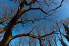 Chêne (JiJi-aime) Tags: arbre chêne mort rayons