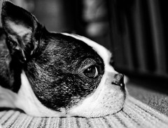 Boston Terrier resting B&W