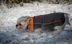 Dogs in Snow (Wayne Cappleman (Haywain Photography)) Tags: wayne cappleman haywain photography animal dog dogs southwood woodlands farnborough hampshire uk snow playing action