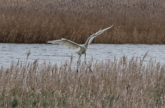 auf dem Darss, deutsche Ostsee (Stefan Giese) Tags: nikon d750 70300mm afp70300mmf4556 dars darss deutscheostsee ostsee vogel bird animal wildlife tier tiere