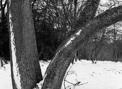 Ancient Woodland New Snow (Hyons Wood) (Jonathan Carr) Tags: ancient woodland rural northeast black white bw monochrome mamiya645e mediumformat 6x45 snow