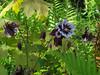 CKuchem-5949 (christine_kuchem) Tags: akelei blüte blüten farn garten insekten nahrung natur naturgarten nektar pflanze privatgarten schatten schattengarten selbstaussaat sommer wildpflanze dunkel lila naturnah natürlich wild zweifarbig