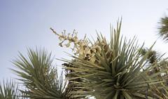 Spiky Plant (Carla D.A.) Tags: joshua tree desert joshuatree fujifilm fujixa3 california landscape nature plants flower