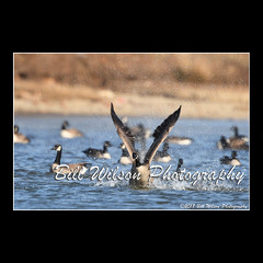 take off (wildlifephotonj) Tags: wildlifephotographynj naturephotographynj wildlifephotography wildlife nature naturephotography wildlifephotos naturephotos natureprints birds bird canadagoose canadageese goose geese