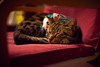 Do not disturb (KaeriRin) Tags: cat catcafe akihabara tokyo japan japanese japanesecat christmas sleeping sony 7m2 sony7m2 7mii voigtlander 40mm 14 mc 40mm14mc adapted lens mmount