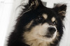 1/12/B taivas - portrait (sure2talk) Tags: taivas finnishlapphund portrait nikond7000 nikkor50mmf14gafs flash speedlight sb900 bounced offcamera 12monthsfordogs 12monthsfordogs18 112b