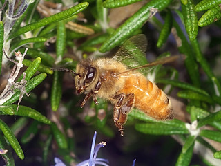 European Honey bee P1033687