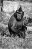 Fashion Statement (Cathy G) Tags: monkey ape bw blackandwhite mono zoo captivity canon canon40d canon70300mm primate