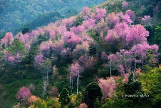 Prunus cerasoides - Dalat