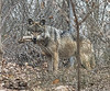 Wolves_Feb172018_0005 (Roni Chastain Photography) Tags: wolf wolfconservationcenter wolves standforwolves wildlife wildanimal captive