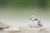 Protection from the world (Pat Ulrich) Tags: charadriusmelodus massachusetts plumisland sandypointstatereservation babybird beach birding birds chick pipingplover sand wildlife parent wind blowingsand wildlifephotography ©patulrich