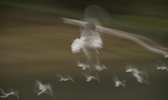 SEAGULL STUDY 143 (annemcgr) Tags: seagulls gulls birds flight motion slowmotion icm fineartphotography double exposure